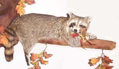 RaccoonOnLimb (2)
